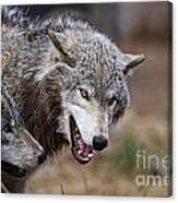 Timber Wolf Pictures 173 Canvas Print