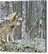 Timber Wolf Pictures 184 Canvas Print