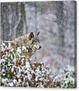 Timber Wolf Pictures 186 Canvas Print