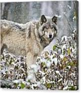 Timber Wolf Pictures 187 Canvas Print