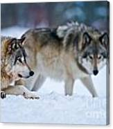 Timber Wolf Pictures 190 Canvas Print