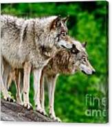 Timber Wolf Pictures 191 Canvas Print