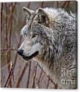 Timber Wolf Pictures 197 Canvas Print