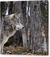 Timber Wolf Pictures 203 Canvas Print