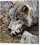 Timber Wolf Pictures 205 Canvas Print