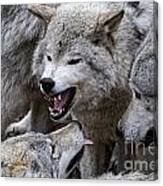 Timber Wolf Pictures 210 Canvas Print
