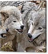 Timber Wolf Pictures 213 Canvas Print