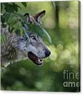 Timber Wolf Pictures 259 Canvas Print