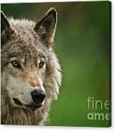 Timber Wolf Pictures 261 Canvas Print