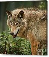 Timber Wolf Pictures 262 Canvas Print