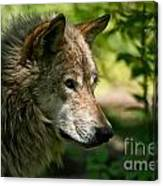 Timber Wolf Pictures 263 Canvas Print