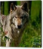Timber Wolf Pictures 266 Canvas Print