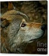 Timber Wolf Pictures 268 Canvas Print