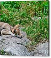 Timber Wolf Pictures 329 Canvas Print