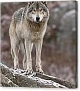 Timber Wolf Pictures 495 Canvas Print