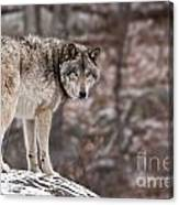 Timber Wolf Pictures 498 Canvas Print