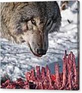 Timber Wolf Pictures 552 Canvas Print