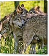 Timber Wolf Pictures 61 Canvas Print
