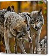 Timber Wolf Pictures 62 Canvas Print
