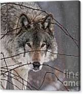 Timber Wolf Pictures 620 Canvas Print
