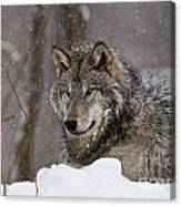 Timber Wolf Pictures 74 Canvas Print
