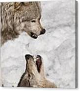 Timber Wolf Pictures 775 Canvas Print