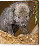 Timber Wolf Pictures 782 Canvas Print