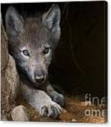 Timber Wolf Pictures 875 Canvas Print