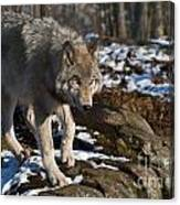 Timber Wolf Pictures 969 Canvas Print