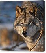 Timber Wolf Pictures 981 Canvas Print