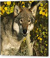 Timber Wolf Teton Valley Idaho Canvas Print