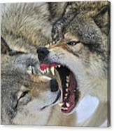 Timber Wolves Play Canvas Print