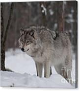 Timberwolf Series 4 Canvas Print