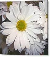 Timeless Sunshine Daisy Canvas Print