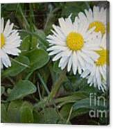Tiny Daisies Canvas Print