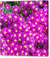 Tiny Dancer - Colorful Midday Flowers Lampranthus Amoenus Flower In Bloom In Spring. Canvas Print