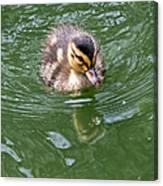 Tiny Duckling Canvas Print
