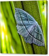 Tiny Moth On A Blade Of Grass Canvas Print