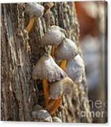 Tiny Mushrooms On The Side Of A Stump Canvas Print