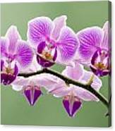 Tiny Orchid Faces Canvas Print