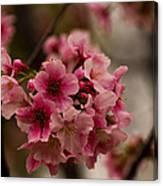 Tiny Pink Blossoms Canvas Print