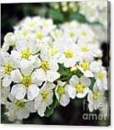 Tiny White Yellow Flowers Canvas Print