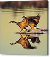 Tk0157, Thomas Kitchin Canada Geese Canvas Print