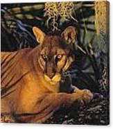 Tk0397, Thomas Kitchin Florida Panther Canvas Print