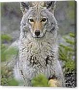 Tk0607, Thomas Kitchin Coyote In Spring Canvas Print