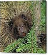 T.kitchin 14107c, Porcupine In Spruce Canvas Print
