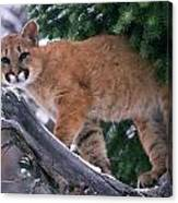 T.kitchin 15274d, Cougar Kitten Canvas Print