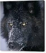 T.kitchin Tk1731e, Gray Wolf, Timber Canvas Print