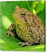Toad Sitting Canvas Print