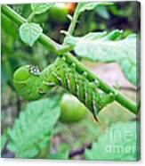 Tobacco Hornworm - Manduca Sexta - Six Spotted Hawkmoth Canvas Print